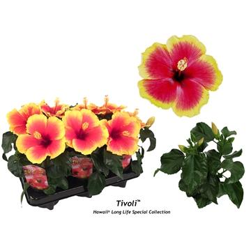 """Hibiscus Hawaii® Special """"Long Life"""" Tivoli 2-2,5 tak"""