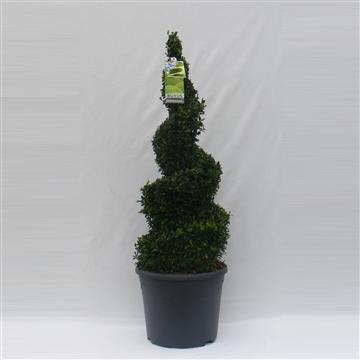 Buxus sempervirens spiraal 80cm