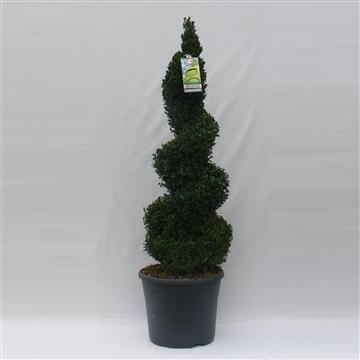 Buxus sempervirens spiraal 90cm