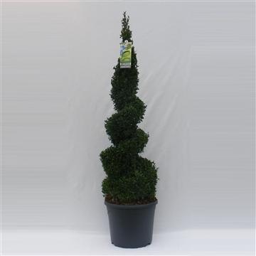 Buxus sempervirens spiraal 100cm