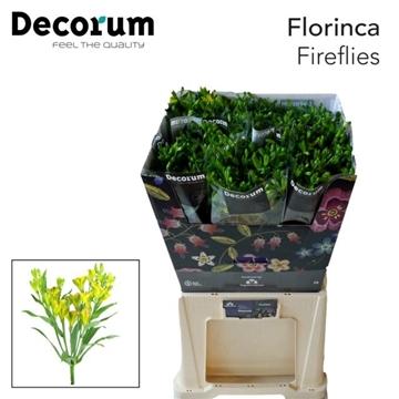 Flor Fireflies