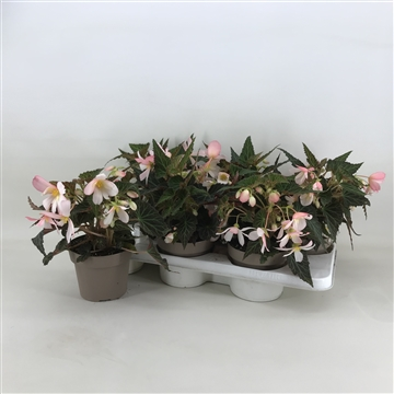 Begonia Waterfall 'Angel soft pink'