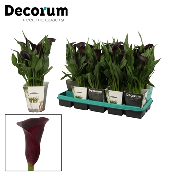 Zantedeschia Montevideo in Potcover (Decorum)