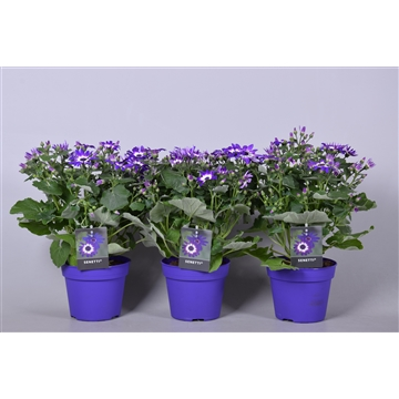 Senecio Cruentus (Senetti) Violet Bicolor