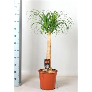 Beaucarnea 'maya palm'
