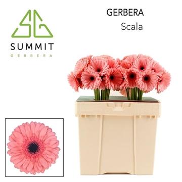 GE GR Scala Decorum