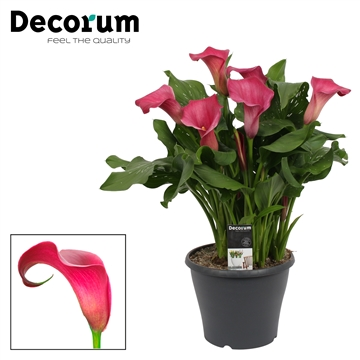 Zantedeschia Royal Princess (Decorum)
