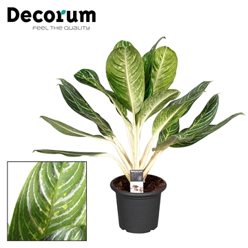 Aglaonema Keylime in deco pot (Decorum)