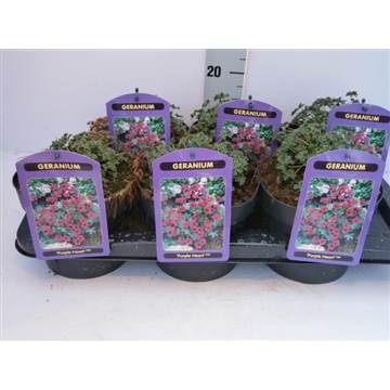 = geranium purple hearth