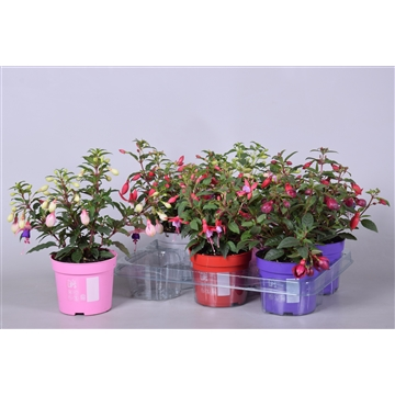MoreLIPS® Fuchsia Bella gemengd mixtray met sticker