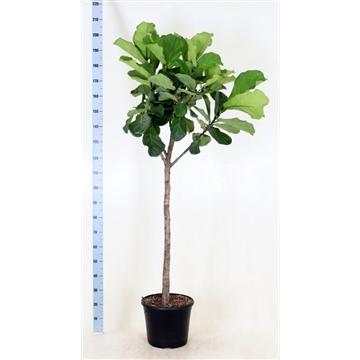 Ficus Lyrata bol op stam