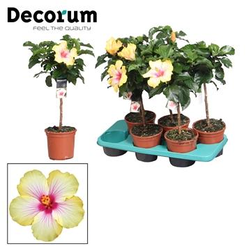 Hibiscus op stam - 15 cm - Cocktail (yellow/pink) - Decorum (PLANTENPASPOORT)