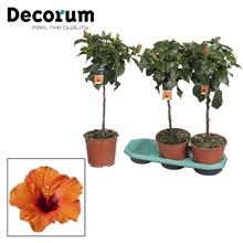 Artikel #411304 (DECO-19-LUCNA: Hibiscus op stam - 19 cm - Lucca (orange) - Decorum (PLANTENPASPOORT))