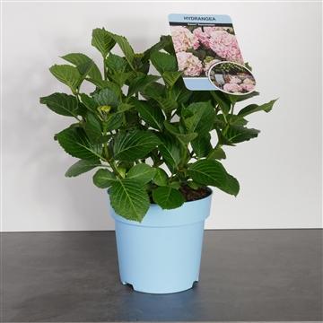 Hydrangea Saxon in soorten