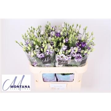 Lisianthus Fleur Elisa blue 70 cm
