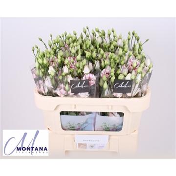 Lisianthus Fleur Elisa pink 70 cm