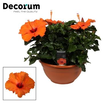 Hibiscus Lucca oranje SCHAAL