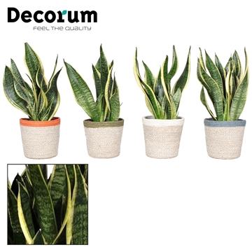 Collectie Unique - Sansevieria Futura Superba in mand Jelle