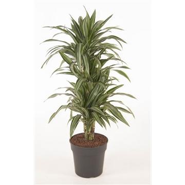 Dracaena fragrans (Deremensis Grp) Ulises