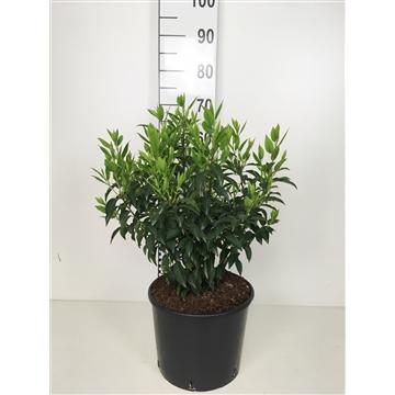 Prunus lus. 'Angustifolia'