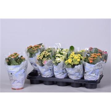 Kalanchoe bloss. gevuld Calandiva mix 5 kleuren