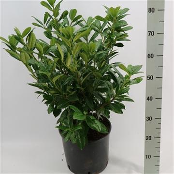 Prunus laurocerasus 'Antonius'®