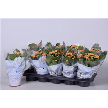Kalanchoe bloss. gevuld Calandiva Orange