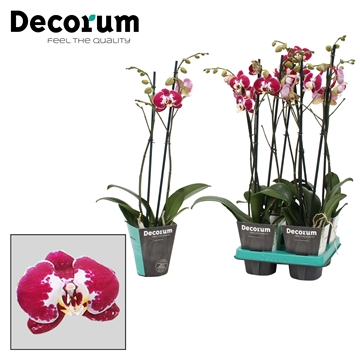 Phalaenopsis 2-Tak Modulation 60cm R2-3