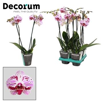 Phalaenopsis 2-Tak Euphorion 60 cm R2-3