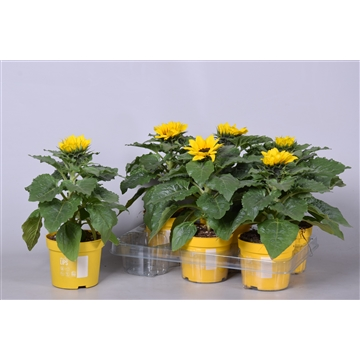 MoreLIPS® Helianthus 'Sunsation' met sticker