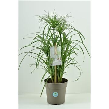 Cyperus papyrus + aqua pot 21 cm