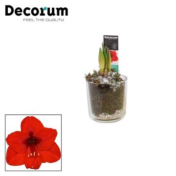Hippeastrum Rood 2 Knop Claudia WINTER (Decorum)