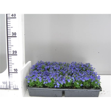 Lobelia blauw / Lobelia erinus blue