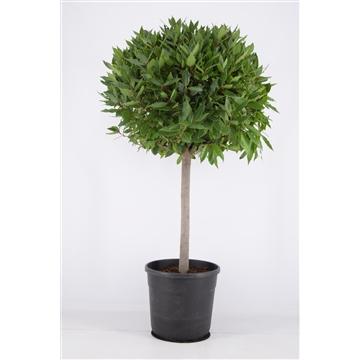 Laurus nobilis Bol op stam.