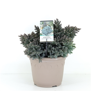 Juniperus squamata 'Blue Star' - taupe pot