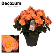 Begonia 'belove peach'