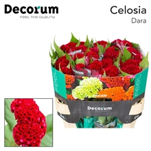 Celosia Act Dara