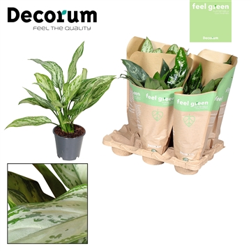 Aglaonema gemengd in krafthoes Feel Green (Decorum)