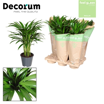 Dypsis lutescens (Areca) in kraft hoes Feel Green (Decorum)