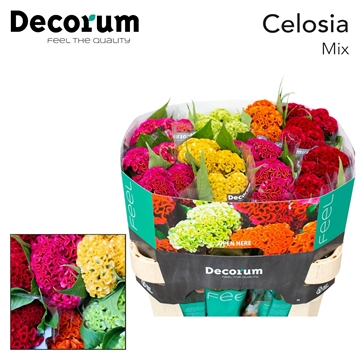 Celosia Gemengd in de fust