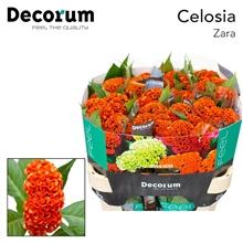 Celosia Act Zara