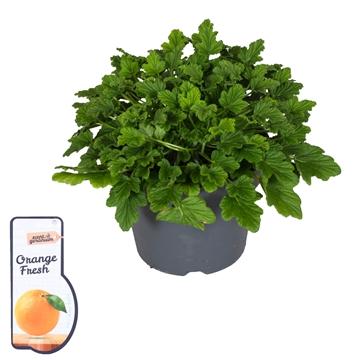 Scent geranium Orange SCENT