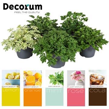 Scent geranium Fresh mix 3 + Scents