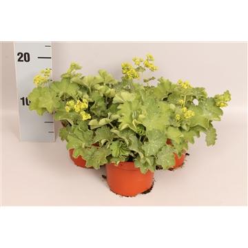 Alchemilla mollis Vaste plant 12cm