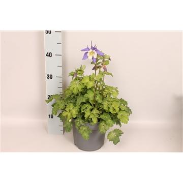 vaste planten 19 cm Aquilegia Deep Blue & White