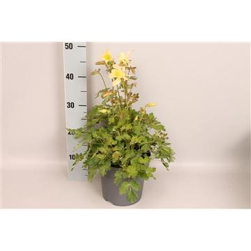 vaste planten 19 cm Aquilegia Yellow