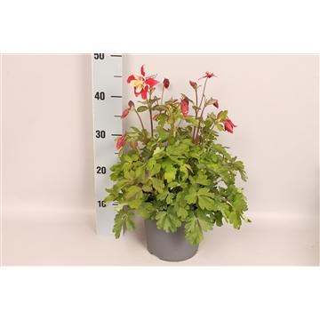 vaste planten 19 cm Aquilegia Red & White
