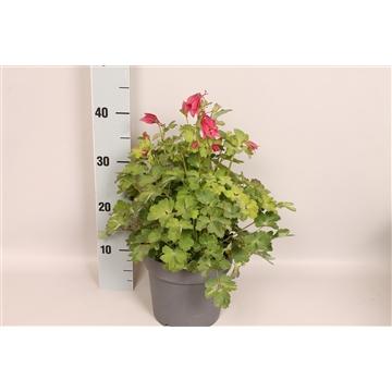 vaste planten 19 cm Aquilegia Rose & Pink