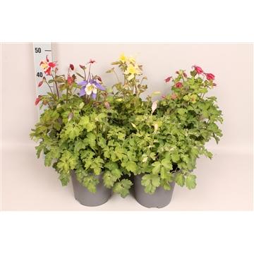 vaste planten 19 cm Aquilegia MIX Laag
