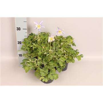 vaste planten 12 cm Aquilegia Light Blue & White
